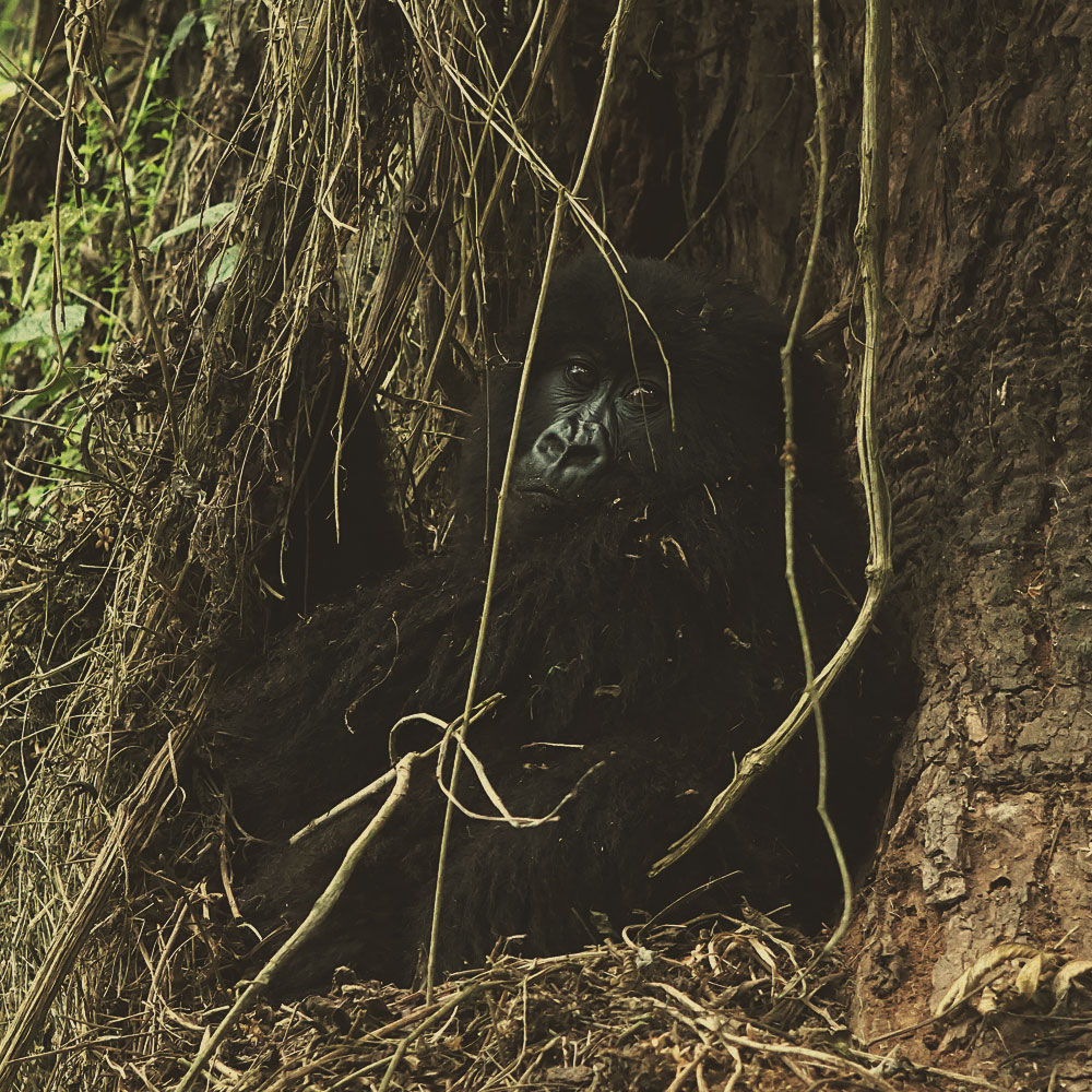 Primate Safari I